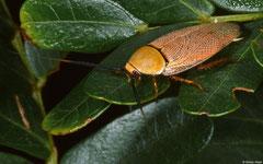 Bush cockroach (Ellipsidion humerale), Broome, Western Australia