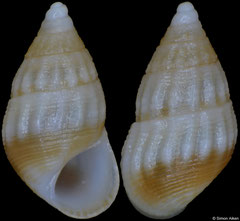 Alvania compacta (Pacific Mexico, 3,1mm) F+++ €1.20 (specimens for sale are c.3mm and are of the same quality as the specimen illustrated)