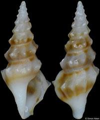 Clavus angulatus (Philippines, 14,8mm)