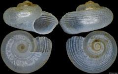 Circulus sp. (Philippines, 4,6mm)