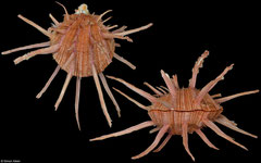 Spondylus regius (Philippines, 125,0mm)