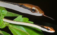 Painted bronzeback (Dendrelaphis pictus), Kampong Trach, Cambodia