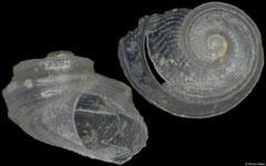 Sukashitrochus dorbignyi (South Africa, 1,7mm)