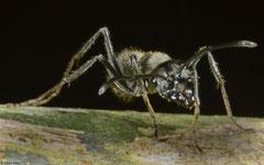 Ant (Formicidae sp.), Hà Tiên, Vietnam