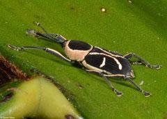 Weevil (Curculionidae sp.), Sahafina, Madagascar
