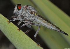 Robber fly (Asilidae sp.), Anakao, Madagascar