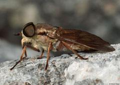 Horse-fly (Hybomitra arpadi ), Sierra de Baoruco, Dominican Republic