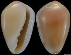 Prunum apicinum (Florida, USA, 10,4mm) F++ €2.50