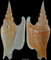 Mirabilistrombus listeri (Thailand, 138,3mm) F++ €15.00 (specimens for sale are 134mm+ and are of the same quality as the specimen illustrated)