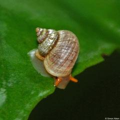 Pseudocyclotus levis (New Georgia, Solomon Islands)