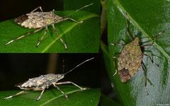 Shield bug (Pentatomoidea sp.), Mantadia, Madagascar