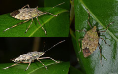 Shield bug (Pentatomoidea sp.), Mantadia, Madagascar