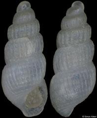 Bartschella subangulata (Pacific Mexico, 2,3mm) F++ €5.00