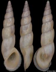 Rissoa auriscalpium (Malta, 6,8mm) F++ €4.00