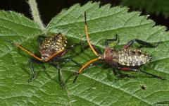 Shield bugs (Pentatomomorpha sp.), Fianarantsoa, Madagascar