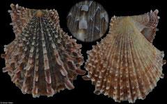 Scaeochlamys livida (Queensland, Australia, 52,2mm)