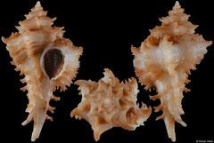 Favartia humilis (Pacific Panama, 30,1mm)