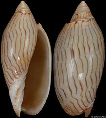 Amoria jamrachii (Western Australia, 53,9mm) F++ €25.00