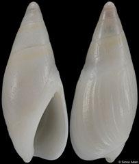 Ancillista depontesi (South Africa, 20,5mm)