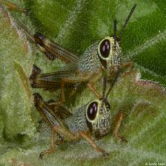Grasshopper (Acridomorpha sp.) nymphs, Samal Island, Philippines