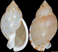 Casmaria cernica (Philippines, 35,3mm)