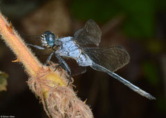 Abbott's skimmer (Orthetrum abbotti) old male, Sahafina, Madagascar