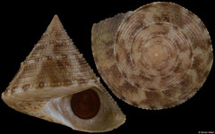 Calliostoma nepheloide (Pacific Panama, 21,6mm)
