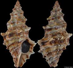 Lataxiena bombayanus (India, 32,4mm)