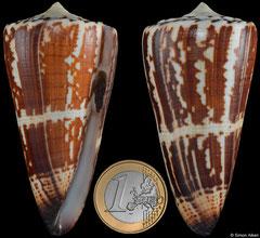 Conus maldivus (Madagascar, 74,4mm)