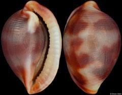 Testudovolva nipponensis (Philippines, 6,4mm)