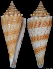 Conus comatosa (Philippines, 36,8mm)