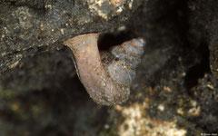 Hypselostoma cambodjense (Tuk Meas, Kampot Province, Cambodia)