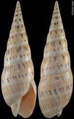 Terebra maculata (Philippines, 172,0mm) F+/F++ aberrant €15.00