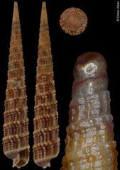 Terebra neglecta (Philippines, 33,5mm) F+/F++ €6.50