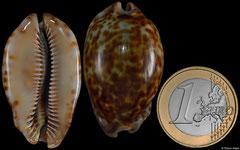 Cypraea stercoraria (Senegal, 38,9mm) F+ €10.00