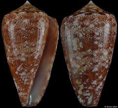 Conus natalis (South Africa, 40,5mm)
