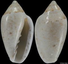Marginella falsebayensis (South Africa, 14,7mm) F+++ €10.00