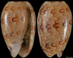 Persicula phrygia (Pacific Mexico, 6,0mm)