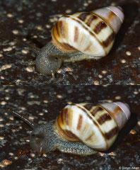 Liguus fasciatus (Jiguaní, Granma, Cuba) (juvenile)