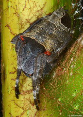 Double-tailed tent spider (Cyrtophora cf. exanthematica), Balut Island, Philippines