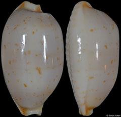 Cypraea brevidentata (Western Australia, 23,3mm) (form)