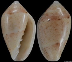 Marginella umzumbeensis (South Africa, 13,2mm) F++ €25.00 (specimens for sale are 13mm and are of the same quality as the specimen illustrated)