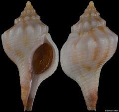 Afer porphyrostoma (Western Sahara, 34,9mm) F++ €16.00