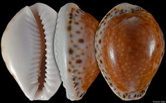 Cypraea acicularis form 'marcuscoltroi' (Brazil, 23,7mm)