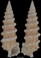 Cerithium lifuense (Philippines, 30,2mm)