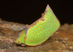 Planthopper (Flatidae sp.), Bokor Mountain, Cambodia