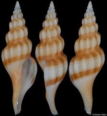 Latirus philippinensis (Philippines, 45,3mm)