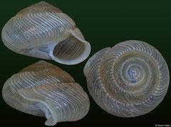 Lucidella conoidea (Dominican Republic, 4,3mm)
