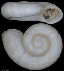 Hausdorfenia pseudohauffenia (Georgia, 1,5mm) (paratype)