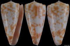 Conus rufimaculosus (Queensland, Australia, 38,8mm)